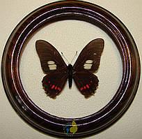 Сувенир - Бабочка в рамке Mimoides xeniades signatus. Оригинальный и неповторимый подарок!