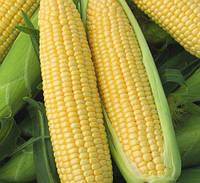 Кукуруза  сахарная  Веге-1 F1 (раннеспелый 69-73 дней)