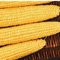 Кукуруза сахарная Малибу F1 (раннеспелый 70-72 дней)
