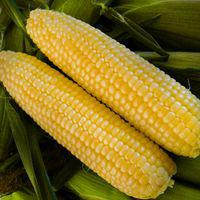 Кукуруза сахарная Багратион F1 (среднеспелый 76-78 дней)