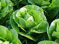 КОРБАНА / CORBANA – салат, Enza Zaden 5 000 семян