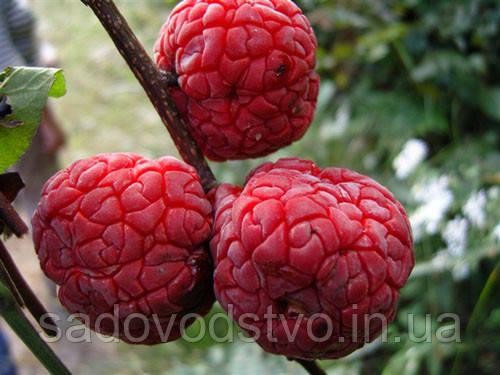 плоды кудрании