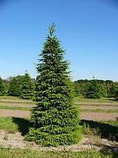 Ель европейская  Высота 1,8 - 2 м., фото 3