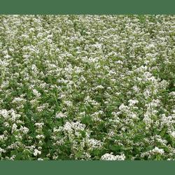 Семена гречихи Юбилейная 100 посевной материал