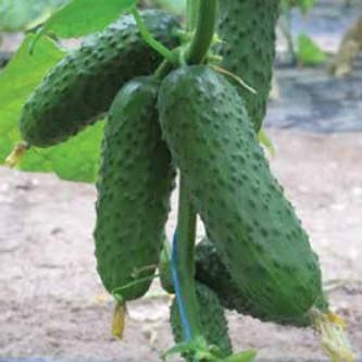 Семена огурца Барвина F1 (500 сем.)