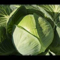 Ринтон F1 - капуста белокочанная, 2 500 семян, Syngenta (Сингента), Голландия
