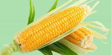 Семена Кукуруза Любава  F1 (кормовая) ФАО 260, протравленная