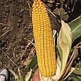 Гібрид кукурудзи Зупорто , фото 6