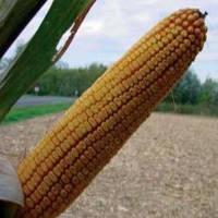 Семена кукурузы Вымпел