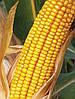 Семена кукурузы Драва