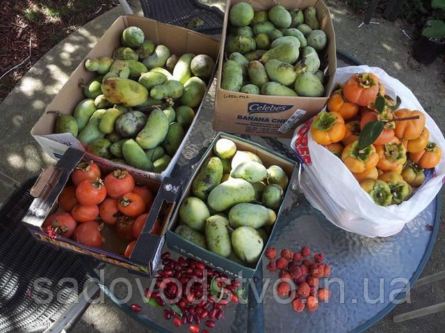 Урожай кудрании, азимины и хурмы