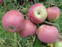 Садженці Яблуня Лілея