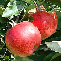 Садженці Яблуко Настя