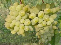 Виноград Европлевен