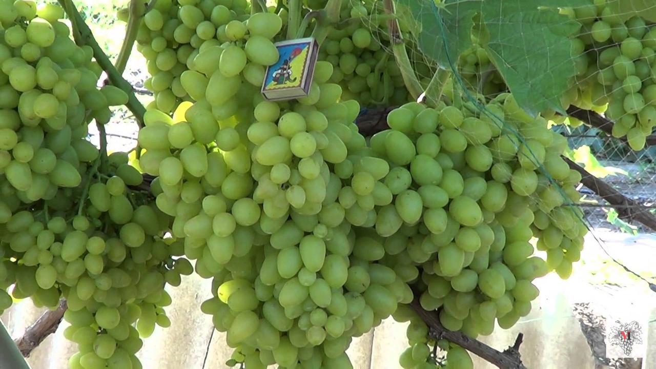Виноград Красавчик-2