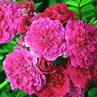 Роза Super Excelsa (Супер Эксельза)