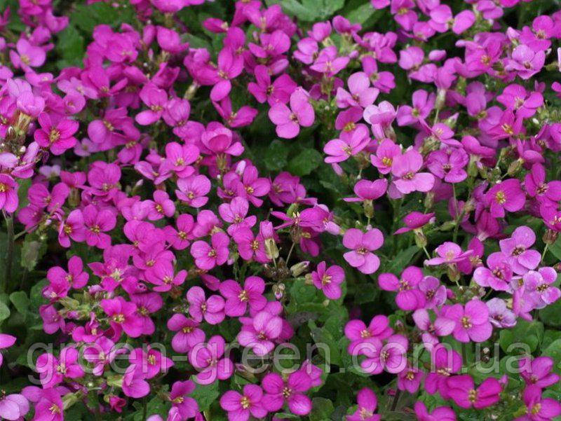 Арабис реснитчатолистный Spring Charm