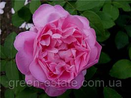 Мерлін англійська клас А, рожева