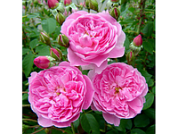 Мерлин английская класс АА-Премиум, розовая