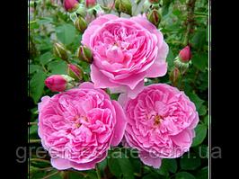 Мерлін англійська клас АА-Преміум, рожева