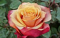 Черри Бренди класс А, вишнево-желтая