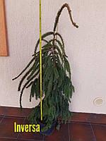 Ель обыкновенная плакучая   Инверса ( Picea abies Inversa ) 7л контейнер высота 1м-1м20