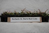 Барбарис Тумберга Darts Red Lady (на дорощування)