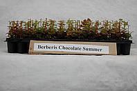 Барбарис Тунберга Chocolate Summer (на дорощування)
