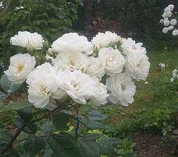 Роза Ватерлоо (Rosa rugosa Waterloo) Шраб, фото 2