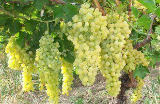 Виноград Сенека неукрывной
