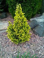 Ель канадская Дейзи Уайт (Picea glauca Daisy's White)С3 высота 45-55см