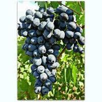 Виноград Буффало неукрывной