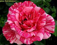 Роза Pink Intuition (Розовая интуиция)