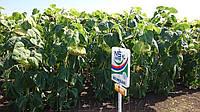 Семена подсолнечника Имисан (Под Евролайтинг)