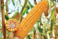 Семена кукурузы РАМ 1333 (АК Степова)