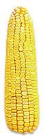 Насіння кукурудзи РАМ 8143 (АК Степова) ФАО 260