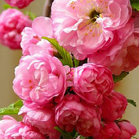 Сакура  Розеа Плена( привитая саженцы 70-80)