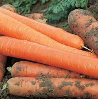 Чемпион F1 - семена моркови, Syngenta