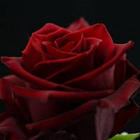 Импортная темная роза. АКЦИЯ!