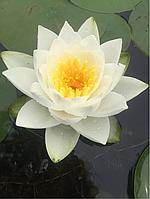 Нимфея «Вайт Султан» (Nymphaea «White Sultan»)