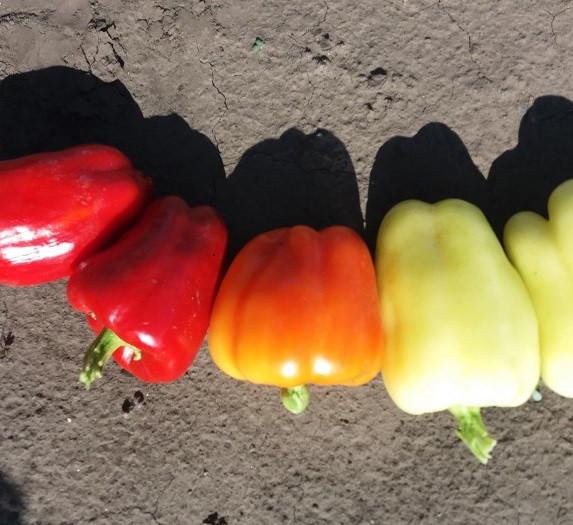 Семена перца Салана F1, Sakata 500 семян