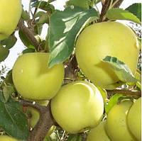 Саженцы яблони Голден желтый