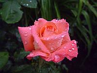 Роза Ноблес Ч/Г