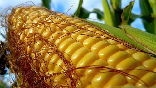 Семена кукурузы Гран 220, среднеранняя, ФАО 210, фото 2