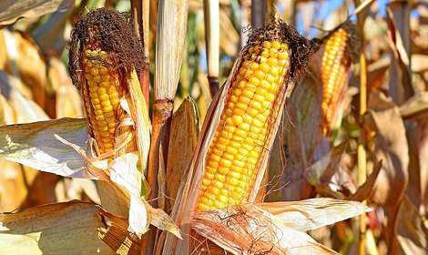 Семена кукурузы Гран 310, среднеранняя, ФАО 250, фото 2