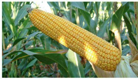 Семена кукурузы Тесла, ФАО 350, фото 2