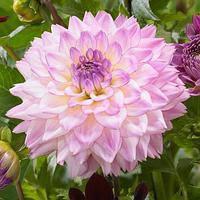 Георгина с гигантским цветком Colorful investment
