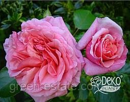 """Роза Алоха абрикосово-рожева """"Декоплант"""""""