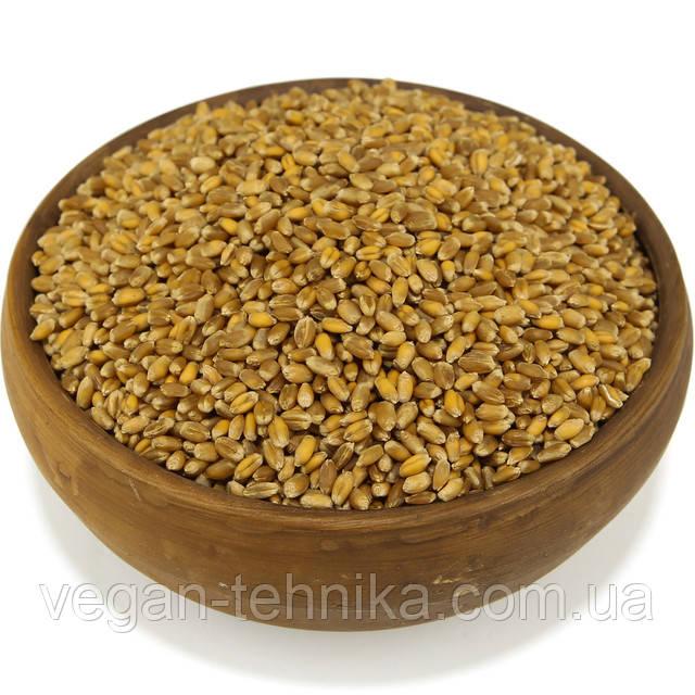 Пшеница, зерно пшеницы