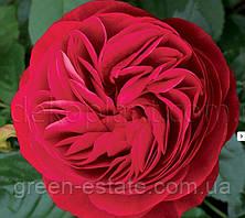 """Роза Іден Роуз ніжно-рожева """"Декоплант"""""""